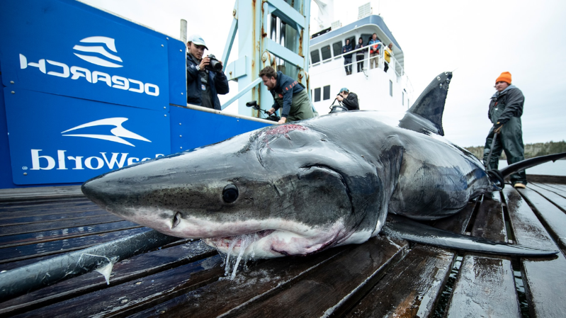 a group of fish in the water: Vimy the shark with his head wound (OCEARCH/Robert Snow)