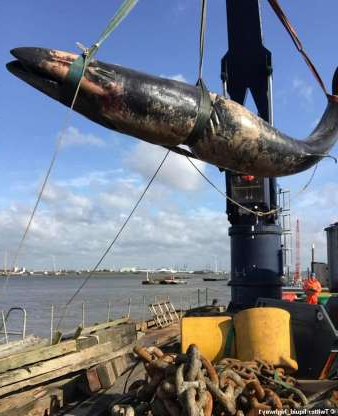 a large ship in the water: A second whale has been found dead in the Thames, just days after a juvenile humpback whale nicknamed Hessy died in the same river when a boat hit her in the face
