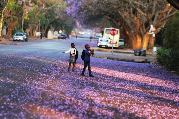 Slide 19 of 30: Children play underneath Jacaranda trees lining a street in the capital Harare, Zimbabwe, Friday, Oct, 11, 2019. Zimbabwe now has the world's second highest inflation after Venezuela, according to International Monetary Fund figures. The economy has been on a downward spiral for more than a year as hopes fade that Mugabe's successor and former deputy, President Emmerson Mnangagwa, will deliver on his promises of prosperity. (AP Photo/Tsvangirayi Mukwazhi)