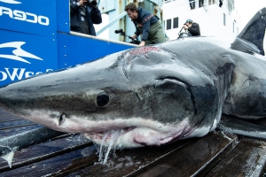 What attacked a 13-foot great white shark pulled from the ocean? One that is even bigger