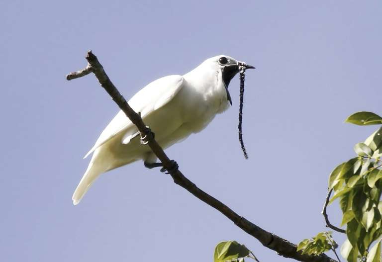 a bird perched on a tree branch: This image obtained October 21, 2019 courtesy of Anselmo d'Affonseca shows a male white bellbird (Procnias albus) screaming its mating call