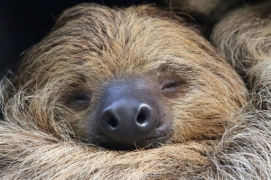 Paula the Two-Toed Sloth Is Officially the Oldest Sloth in Captivity
