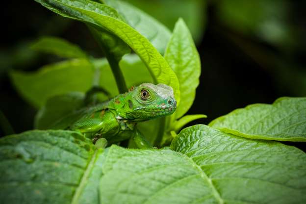 Slide 16 of 60: A juvenile Green Iguana,  Iguana iguana, hides in  leaves for protection in Costa Rica. (Photo by: Jon G. Fuller/VW Pics/UIG via Getty Images)