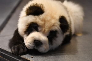 Chow Chow dogs in China dyed to look like pandas, sparking criticism