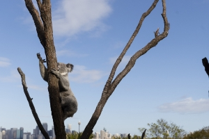 More than 350 koalas expected to have died in NSW bushfire