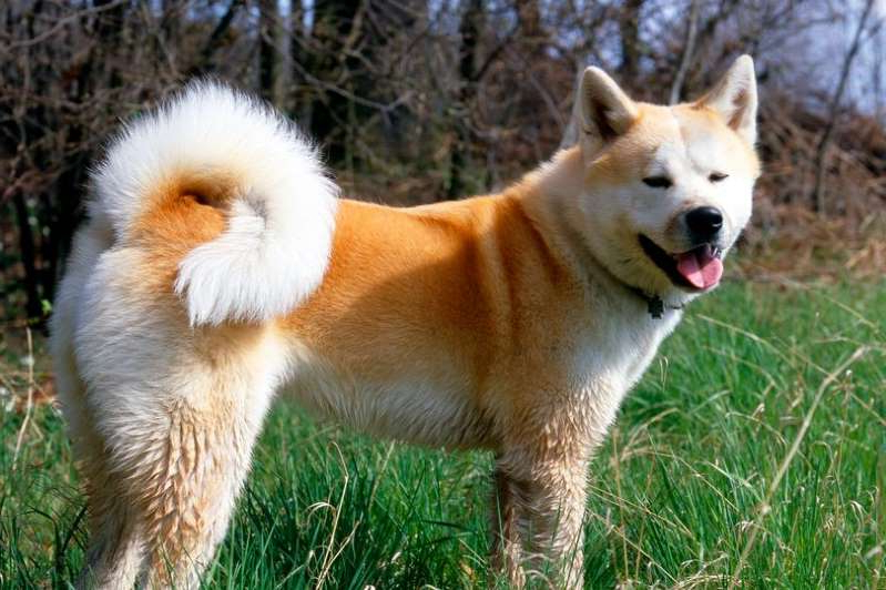 a dog standing on grass: Akita Inu dog (stock image)