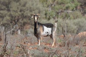 Men caught in the act allegedly poaching wild goats in NSW