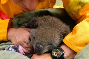 Seven koalas burnt in bushfire successfully treated at Port Macquarie Koala Hospital