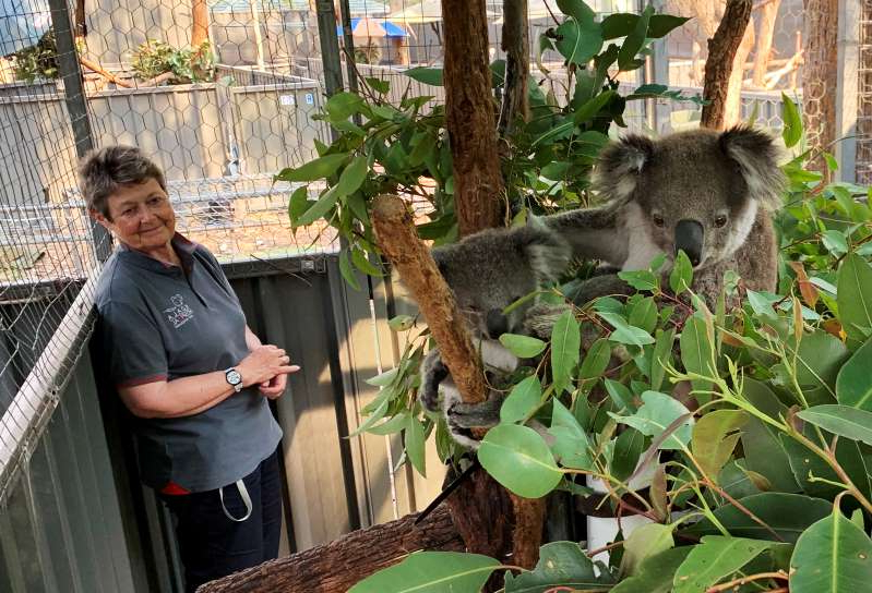 a young boy standing in front of a koala: Sue Ashton, president of Koala Conservation Australia, looks at a koala mother named Julie and an unnamed koala joey in Port Macquarie
