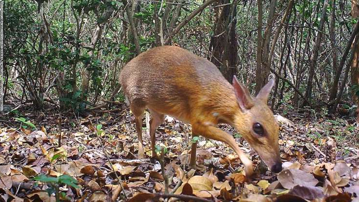 a small brown animal: A camera trap photo of a silver-backed chevrotain, a deer-like creature that was thought lost to science but has been discovered living in the wild in Vietnam.