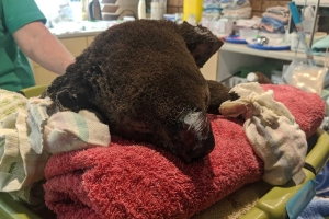 Koalas injured in NSW bushfires treated in couple's lounge room