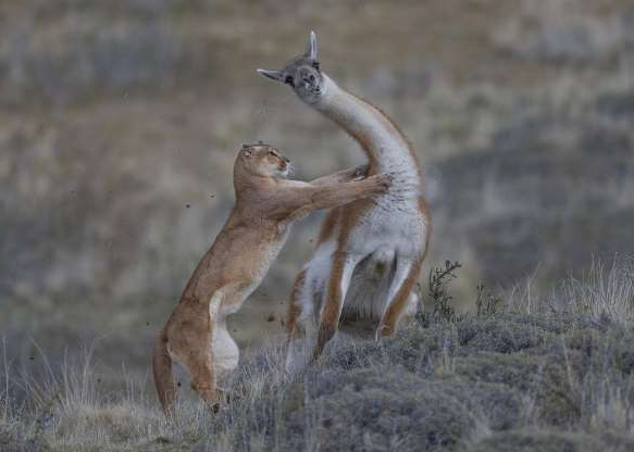 a bird standing on a dry grass field: Ingo Arndt of Germany took this photo of a puma attacking a guanaco (an animal related to the llama) in Patagonia, Chile. While the puma stalked its prey for a half-hour, the guanaco did get away.