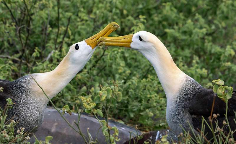 a bird that is standing in the grass: A waved albatross pair nuzzles on the Galápagos Islands. The birds are some of many that pair, staying together for many years. Some of the species perform fancy mating dances every year, even when they aren't looking for a mate.