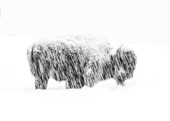 a close up of a snow covered field: American photographer Max Waugh won in the Black and White category for his image of a lone American bison weathering a winter storm in Yellowstone National Park.
