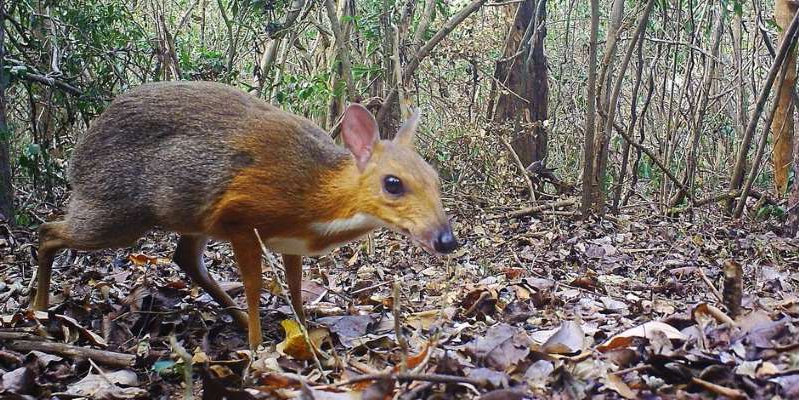 a small animal in a forest: The silver-backed chevrotain snapped by a camera trap. SIE/GWC/Leibniz-IZW/NCNP