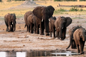 Hundreds of elephants die in Zimbabwe drought