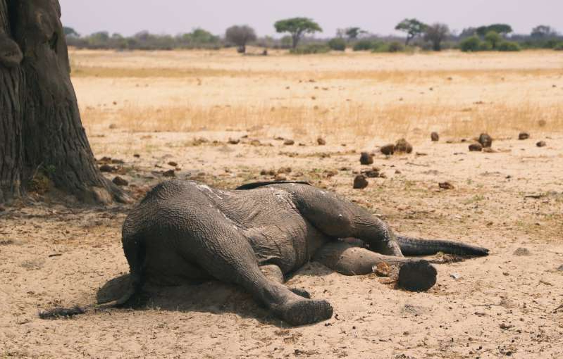 In this photo taken Sunday Nov. 10, 2019, a dead elephant lays in the Hwange National Park, Zimbabwe. More than 200 elephants have died amid a severe drought, Zimbabwe's parks agency said Tuesday Nov. 12, and a mass relocation of animals is planned to ease congestion. (AP Photo)