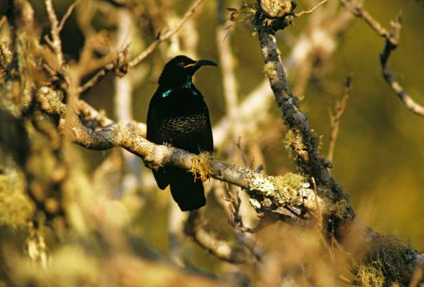 Slide 16 of 26: Paradise riflebird (Ptiloris paradiseus), male; female is brown and buff. Queensland, Australia. (Photo by Auscape/Universal Images Group via Getty Images)