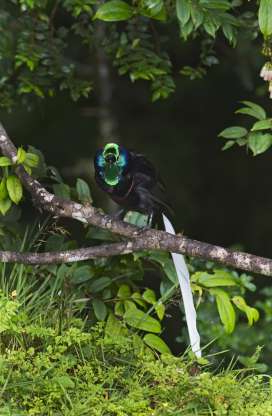 Slide 19 of 26: Ribbon-tailed Astrapia, Astrapia mayeri, male Kumul Lodge Western Highlands, Papua New Guinea. (Photo by: Education Images/Universal Images Group via Getty Images)