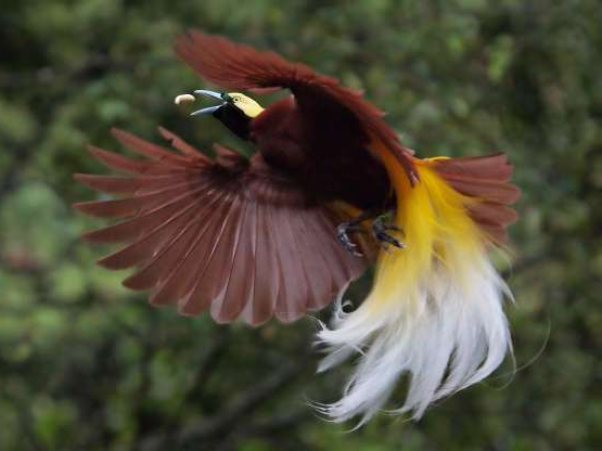 Slide 2 of 26: A Bird of Paradise (Paradisea Minor) is flying to catch worms who becomes his food in the air.