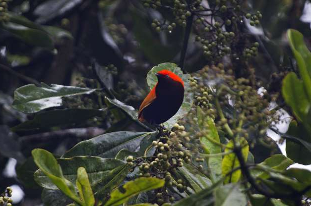 Slide 9 of 26: Crested Satinbird formerly known as Crested Bird of Paradise, Cnemophilus macgregorii, male at fruiting tree Kumul Lodge Western Highlands, Papua New Guinea. (Photo by: Education Images/Universal Images Group via Getty Images)