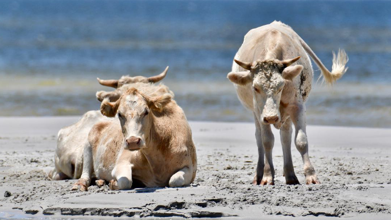 a cow standing on top of a sandy beach: Cows on the beach on Cedar Island, N.C., in July 2017. Cows from the island were swept into the water during a surge from Hurricane Dorian on Sept. 6.