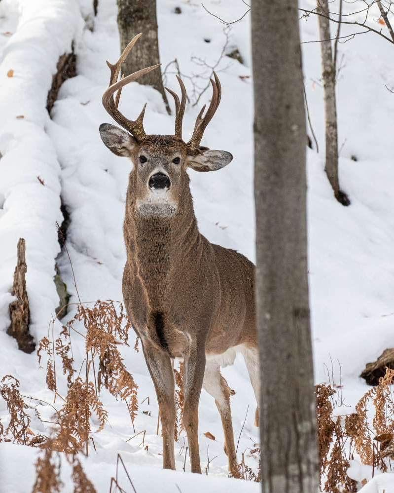 a deer in the snow: A rare three-antlered deer in Upper Peninsula Michigan.