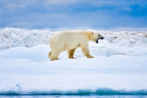 Another detail emerges on polar bear behaviour — some are hoarders