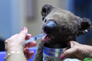Australia's fragile koala colonies are being ravaged by brush fires: 'It's a national tragedy'