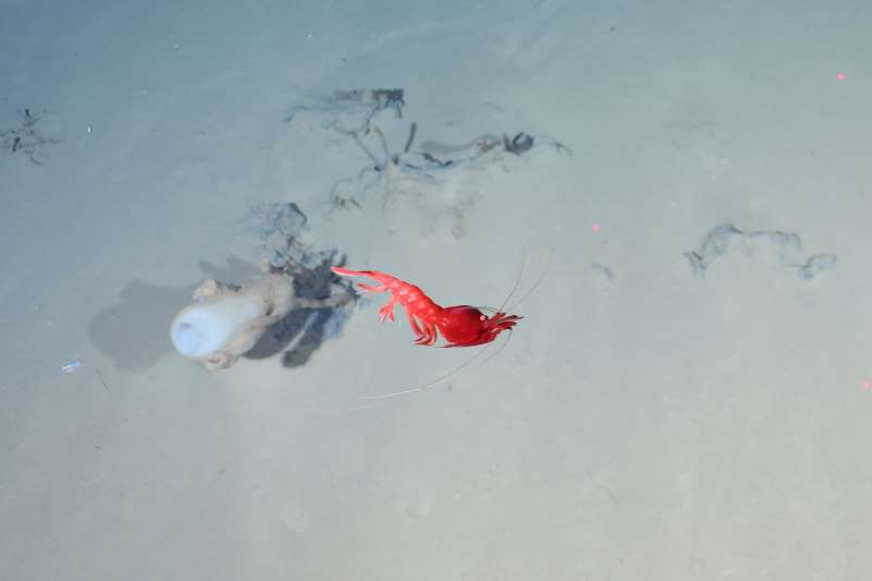 A red shrimp makes its way past a glass sponge in the zone where the Aurora hydrothermal vent field pumps heat and nutrients onto the desolate floor of the Arctic Ocean. This image was captured by a tow camera tethered to the Norwegian icebreaker R.V. Kronprins Haakon in October.