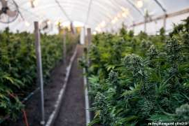 a close up of a garden: Australia's largest cannabis manufacturing plant has been approved and it will also be the world's first manufacturing plant which will produce oil from plant genes to patient (stock image)
