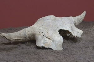 'It felt really powerful:' 2,400-year-old bison skull welcomed by Siksika Nation