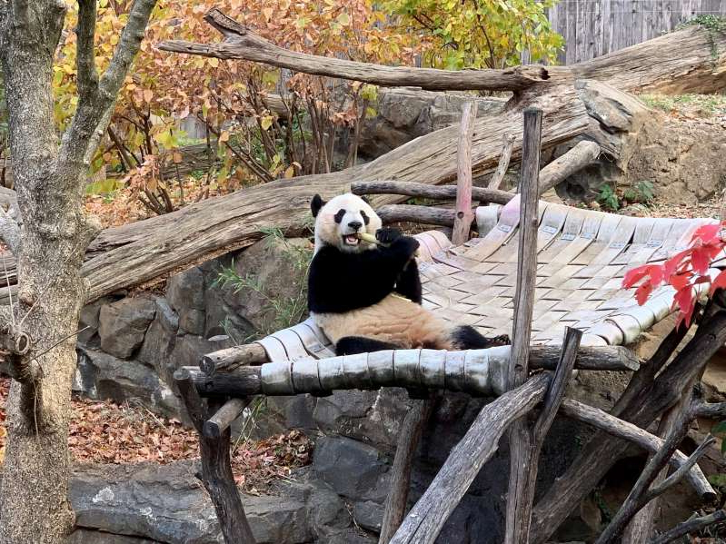 a black bear sitting on top of a wooden fence: Bei Bei, a panda born at the National Zoo in Washington, D.C. four years ago, will travel to China on Tuesday as part of a breeding and research program.