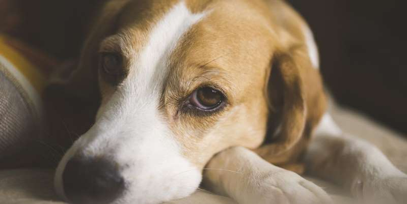 a brown and white dog looking at the camera: Hot spots on dogs, also known as acute moist dermatitis, are patches of sore infected skin. Learn effective ways to treat this common health problem in dogs.
