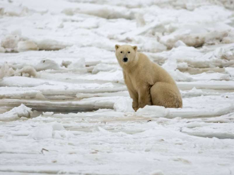 a polar bear walking across a snow covered field: Several Inuit communities have reported an increased number of bear encounters and attacks in recent years.
