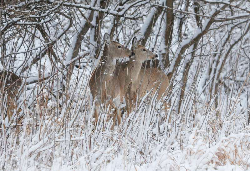 a tree covered in snow: Deer stand out against freshly fallen snow at Walnut Woods park in West Des Moines after a winter storm dumped snow across parts of central Iowa on Sunday, April 15, 2018.
