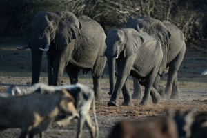 Botswana to start issuing trophy hunting licences in December