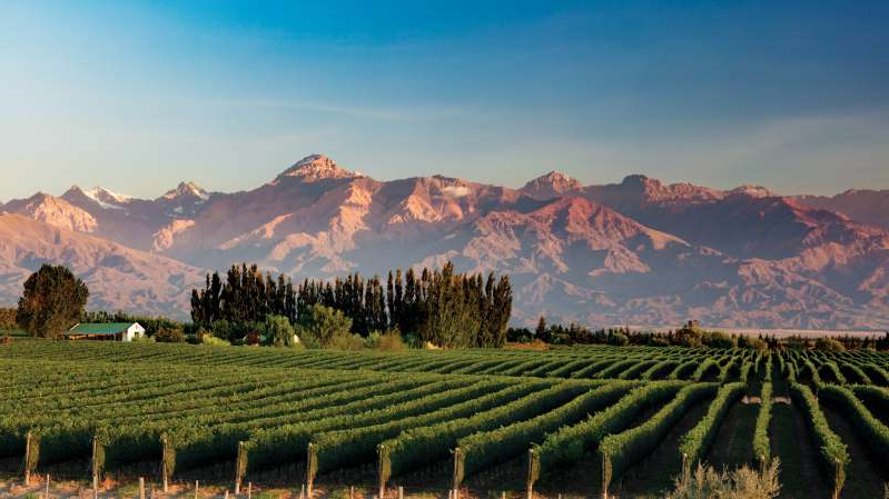 a herd of sheep grazing on a lush green field: The Andes form a backdrop for grape vines in Mendoza's Uco Valley, which produces award-winning Malbec.