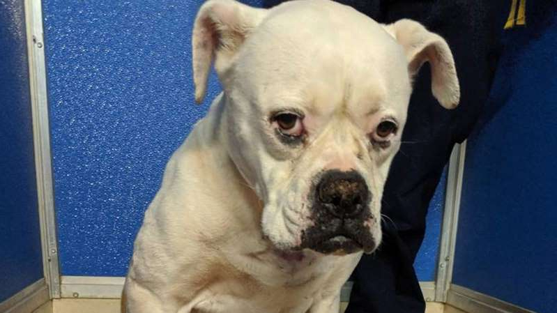 a brown and white dog sitting on a chair: Bella was emaciated and suffering significant injured that appeared to be inflicted maliciously