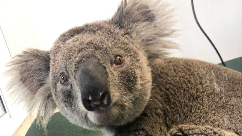 a koala bear looking at the camera: Jalu recovers at the Currumbin Wildlife Hospital after he was rescued from bushfires. (Facebook: Currumbin Wildlife Hospital)