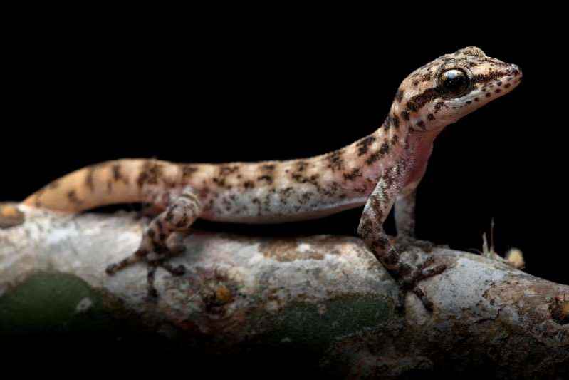 a close up of a lizard: Once thought a subspecies of another gecko, Phyllodactylus maresi was described as unique.