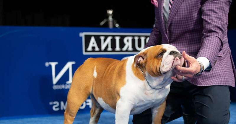 a person holding a dog: Thor the Bulldog Wins Best in Show at 2019 National Dog Show
