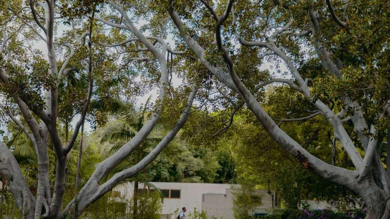 a large tree: A mature canopy of trees in the wealthy Los Feliz neighborhood of Los Angeles.