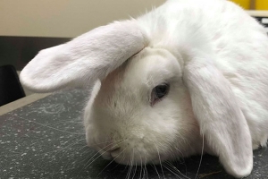 Wonky the 'unicorn-horned' rabbit looks for new home for Christmas