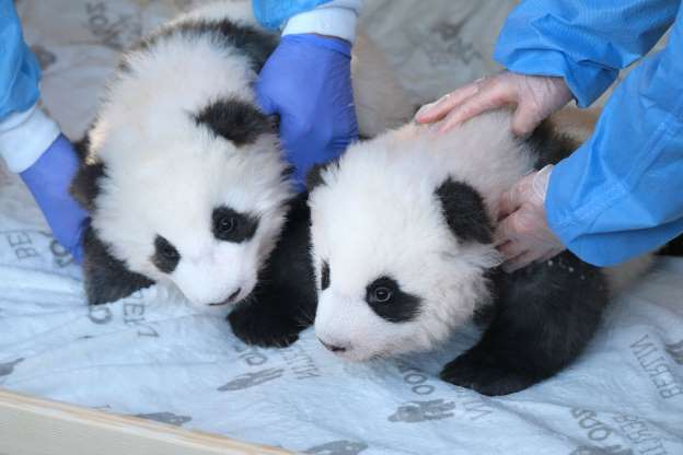 BERLIN, GERMANY - DECEMBER 09: Zookeepers hold baby male pandas Meng Yuan and Meng Xiang during the pandas' first presentation to the media at Zoo Berlin on December 09, 2019 in Berlin, Germany. The two were born at the zoo 100 days ago and today, as part of Chinese panda tradition, was the first day their names were publicly announced.