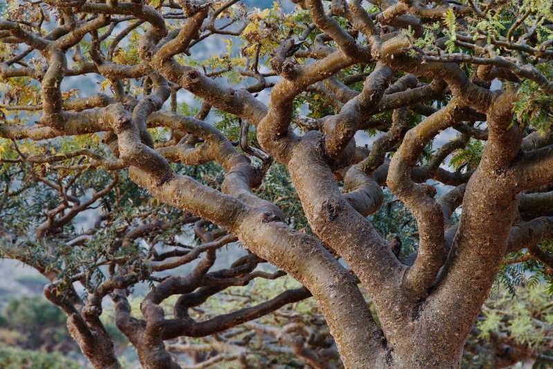 a close up of a tree: Frankincense trees, found throughout northern Africa and in India, Oman, and Yemen, are increasingly under pressure, largely because of overexploitation for their aromatic resin.