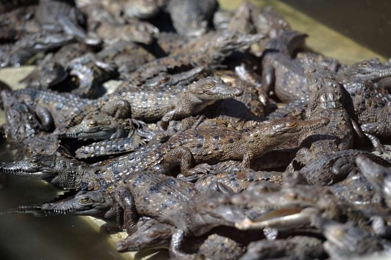 a close up of a reptile: Baby crocodiles on a private farm.
