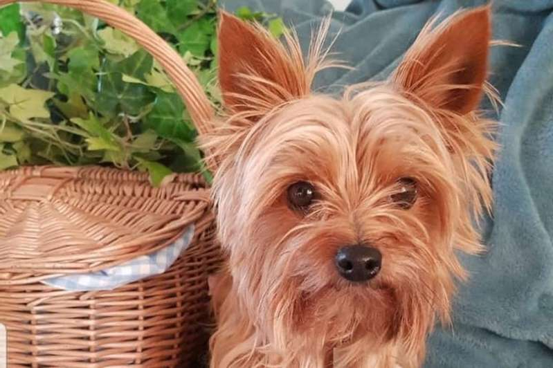 a dog sitting in a basket: Yorkshire Terrier Toto is lucky to be alive following the savage attack