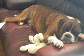 a large brown dog lying on a sofa: Duke the Boxer died while on a flight from Sydney to Brisbane.