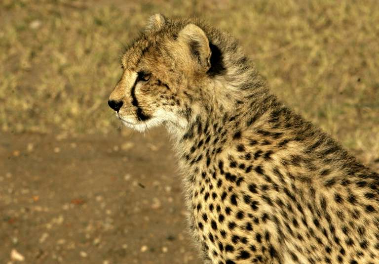 a close up of a cheetah: The cheetah is considered vulnerable under the IUCN Red List of Threatened Species